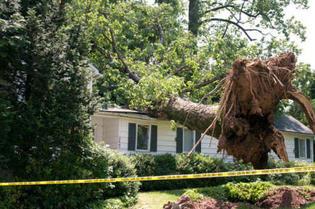 A large uprooted tree lays across a home. The roof is heavily damaged. Emergency roof repairs by Spring Hill Roofers.